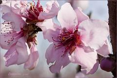 Fiori di Pesco_0423 (leon.calmo) Tags: alberi canon pisa fiori toscana itali frutti pesco fiorirosa fioritura susino eos50d leoncalmo