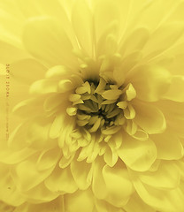 4\10 (DLo3t 2boha) Tags: flower yellow canon          canong11 11