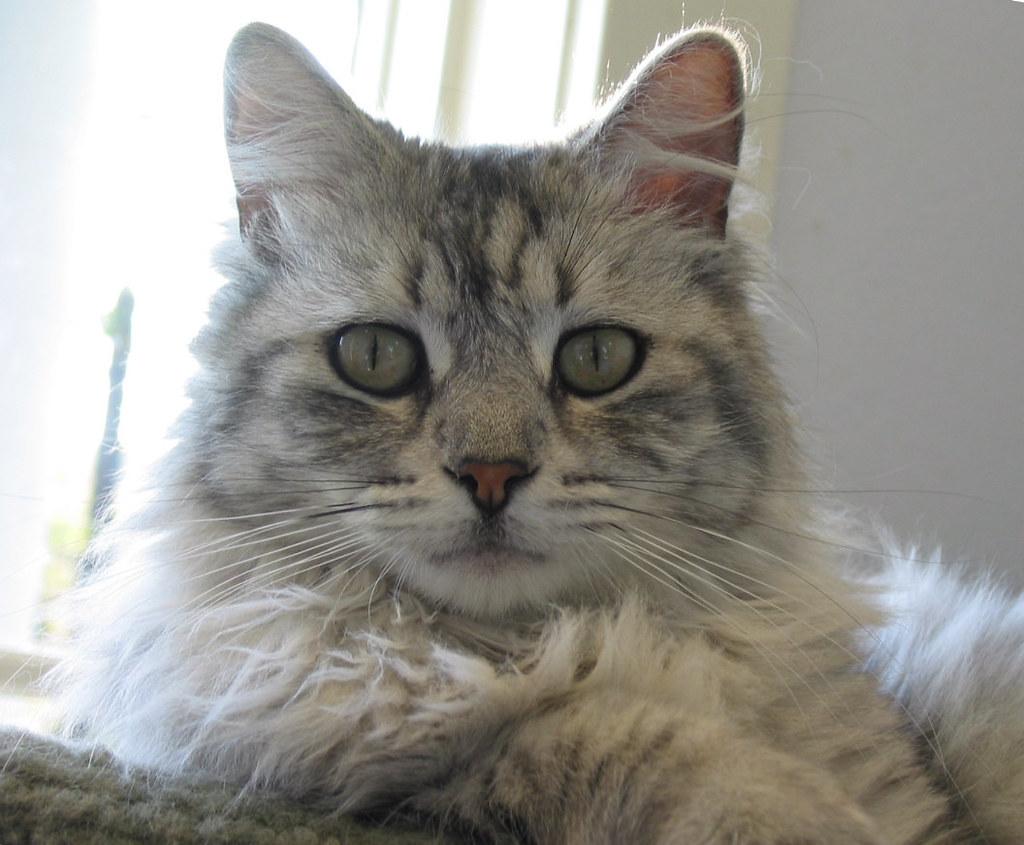 silver tabby cats tabby cats 1878 morgan silver dollar