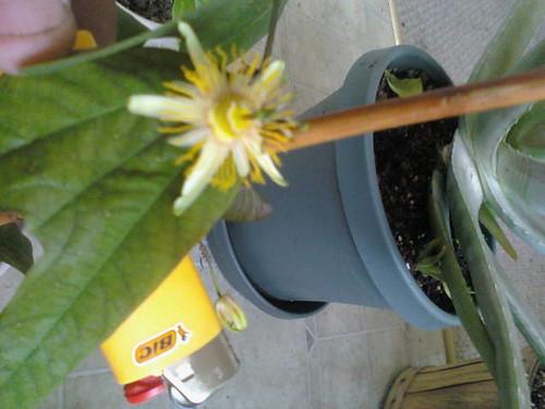 some of my passiflora 5562000041_94f42630ca