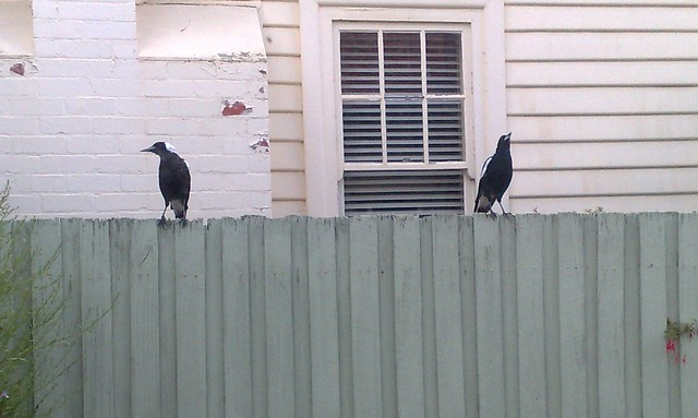 The Magpies next door
