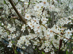 Plum blossom (jonreed) Tags: plumblossom basingstokecanal plumtrees