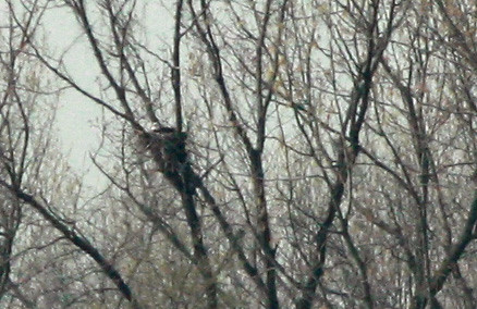 Bald Eagle on nest at Shippingport Island