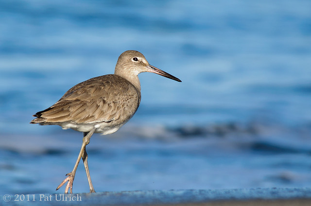 Willet on the beach - Pat Ulrich Wildlife Photography