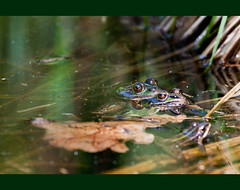 Rane Kika / Kika's frogs (Andreas Gerber) Tags: lake green nature water canon lago eos switzerland tessin ticino suisse andreas 100mm frog frogs locarno 100 svizzera acqua 100400mm gerber 400mm magadino 50d gordola