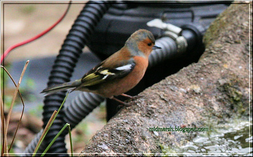 Pond Visitor - Male Chaffinch