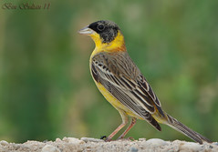 Black-headed Bunting    -  () Tags: black headed bunting blackheaded