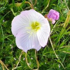 showy evening primrose 2