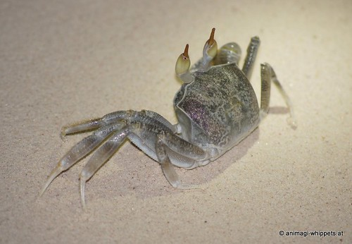 Reiterkrabbe: Ocypode ceratophthalmus
