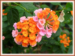 Lantana camara with baby-pink and orange flowers, seen in the neighbourhood