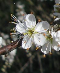 Blackthorn (prunus spinosa) X (Phil Sellens) Tags: prunusspinosa spinosa taxonomy:binomial=prunusspinosa