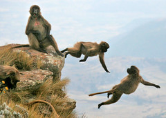 Young geladas play on a cliif (Solimar International) Tags: community area guassa conservatin menzguassaethiopia