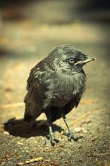 DSC_0014 (JemmaStovell) Tags: macro bird chick blackbird tame amazingdetail jemmastovell