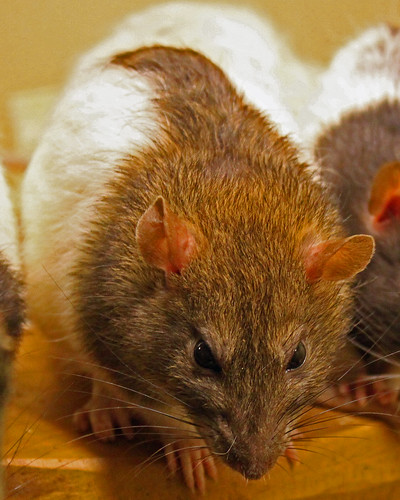How to Get Rid of Rat Infestation with Critter Ridder