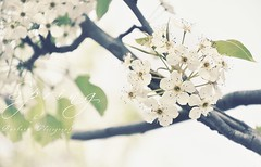 { White spring  } (B@rbar@ (Barbara Palmisano)) Tags: flowers white flower tree primavera nature spring soft bokeh natura fiori pure fiore albero bianco bianchi httpbarbaraphotographyblogspotcom