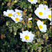White flower - Cisto maggiore