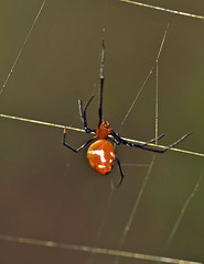 Kleptoparasitic Dewdrop Spider In Orb Weaver's Web (aeschylus18917) Tags: danielruyle aeschylus18917 danruyle druyle ダニエルルール ダニエル ルール nikond700 nikon d700 thailand ราชอาณาจักรไทย ratchaanachakthai thai macro nature 105mmf28 nikkor105mmf28gvrmicro chiangmai เชียงใหม่ doiinthanon ดอยอินทนนท์ spider arachnida araneae orbweaver web gardenspider nephilidae parasite dewdropspider kleptoparasite araneomorphae theridiidae argyrodes argyrodesflavescens redandsilverdewdropspider goldenorbwebspider nephila nephilapilipes kleptoparasitism arachnid クモ 蜘蛛 105mmf28gvrmicro 105mm pxt