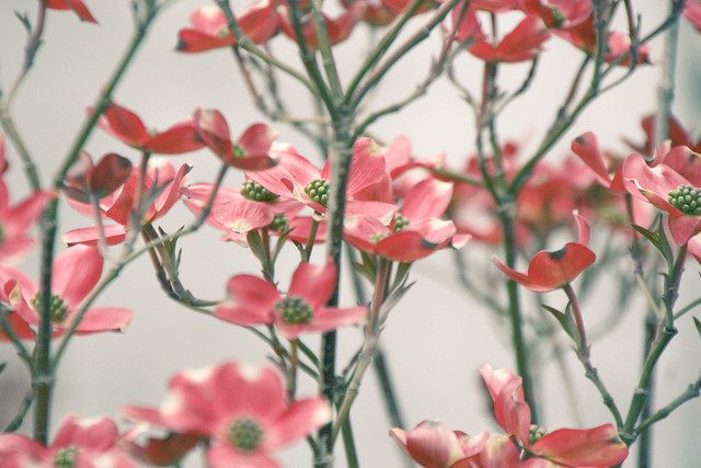 Dogwood (1 of 1)