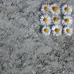 Gnseblmchenblten auf Beton (land-artgeselle) Tags: blumen oberberg landart beton gnseblmchen blten oberbergischerkreis quadrate morsbach landartgenosse