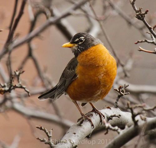 American Robin Posing
