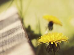 Dandelion (fotastisch) Tags: wood grass yellow dandelion panasonic gelb gras holz löwenzahn fz28