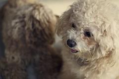 Critter #22 (obo-bobolina) Tags: dog thailand critter phangan doggie haadsaladkoh