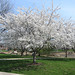 A pretty white tree