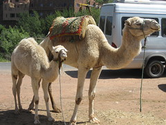 Mama Camel&Baby Camel (cielo_rosado) Tags: baby mountains animals morocco camels