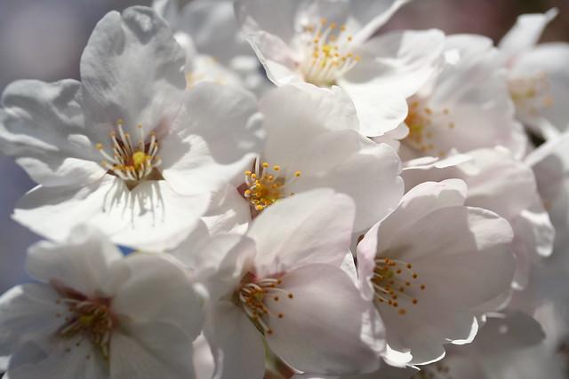 Cherry blossom 2011