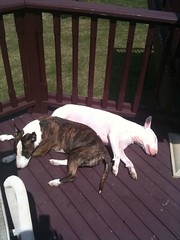 Two little piggies soaking up the sun! (Primo's gang) Tags: dog pets chihuahua silly cute english dogs sport puppy puppies funny primos lol joy gang bull terrier primo bullterrier kimo pudge englishbullterrier photofunnies primosgang