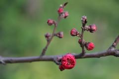 IMG_5028 (YangDan) Tags: flower nature spring shanghai cherryblossom springtime blueten knospen kirschbluete
