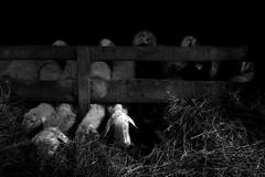 Nella vecchia fattoria... (Pachibro Portfolio) Tags: farmhouse canon eos sheep farm stalla stable pecora fattoria ovino ovini 50d canoneos50d scattifotografici pasqualinobrodella pachibroportfolio pachibro
