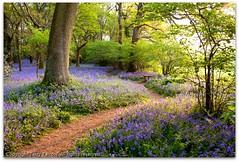 Impression - A dawn walk amongst bluebells! (Terry Yarrow) Tags: uk light england blur colour bluebells canon landscape movement woods dorset impressionism pamphill eos5d