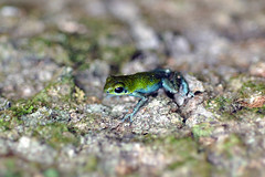 Isla Popa (Wilson's Cay) - Oophaga Pumilio Popa Green (Drriss) Tags: travel macro rainforest wildlife frogs panama amphibians centralamerica herpetology anura dendrobatidae poisondartfrogs pumilio naturenatural taxonomy:order=anura taxonomy:binomial=oophagapumilio taxonomy:family=dendrobatidae taxonomy:species=pumilio taxonomy:genus=oophaga taxonomy:superfamily=dendrobatoidea taxonomy:subfamily=dendrobatinae
