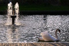 Cisne y fuente / Swan and Fountain (Cesar Redondo) Tags: naturaleza color colour bird nature water fountain colors birds animal backlight canon contraluz zoo swan agua colours natur fuente natura aves colores swans ave schwan fuentes cisne cygnes sources cigni cisnes april29 apr29  abril29 april11 apr11 ellagodeloscisnes abril11 canon1000d abr29 abr11 cisneyfuente
