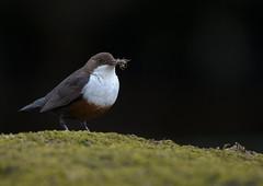 dipper (markoh2011) Tags: bird rivers streams wid dipper