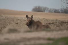 Moose - IMG7885 (gm_pentaxfan) Tags: canada geotagged pentax wildlife moose saskatchewan mossbank 2011 k20d pentaxk20d wildobs gmpentaxfan