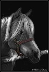bionda (giorgiog2009) Tags: ombre cavalli luce eos550d giorgiogottardi avvelignesi