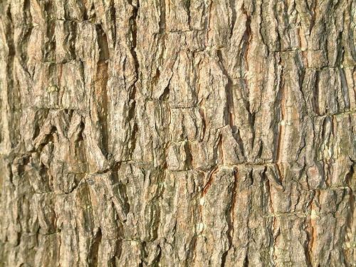 黑板樹~1