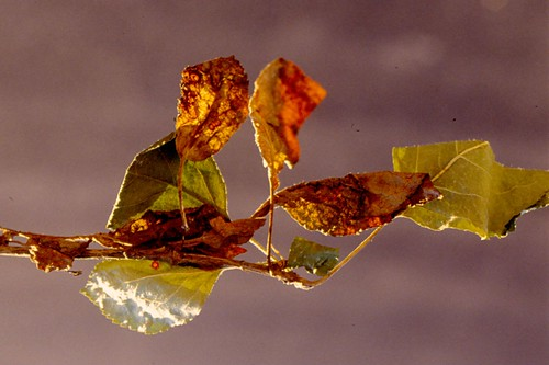 Leaves killed by the thread blight fungus and healthy leaves nearby. Photo courtesy of Alan. R. Biggs, West Virginia University.