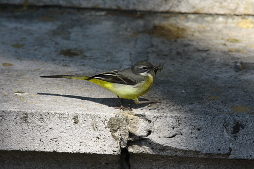 Grey Wag in the Big City