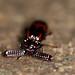 Ant nest beetle (Paussinae, Carabidae)