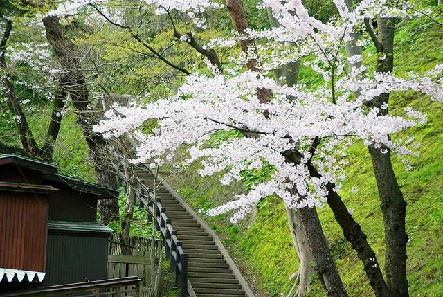 秋田市 千秋公園の桜