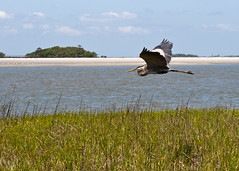 "Fripp - Blue heron in flight • <a style=""font-size:0.8em;"" href=""http://www.flickr.com/photos/30765416@N06/5688527270/"" target=""_blank"">View on Flickr</a>"
