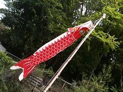 実家の鯉のぼり