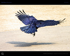 Shadow of The Raven (tomraven) Tags: blue shadow black bird purple flight feathers raven edgarallanpoe theraven tomraven aravenimage q22011