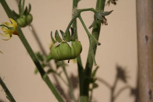 Primo pomodoro in terrazzo