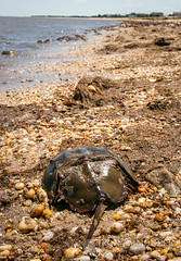 Horsehoe Crab on beach (Paul Williams www.IronAmmonitePhotography.com) Tags: america coast marine unitedstates wildlife crab migration horseshoecrab arthropod delawarebay redknot slaughterbeach limuluspolyphemus mispillionharbour