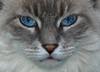 Do I Have Your Attention? (Crop) (joecrowaz) Tags: blue wild arizona cats pets white color phoenix animals eyes olympus zuiko e510 naturesfinest coth supershot inspiredbylove bej 18180mm rawdevelopment abigfave kissablekat bestofcats platinumphoto colorphotoaward flickrdiamond olympusmaster2 10nw alittlebeauty friendsofzeusphoebe 5wonderwall