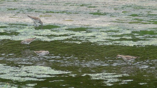 White-rumped Sandpipers and Pectoral Sandpiper